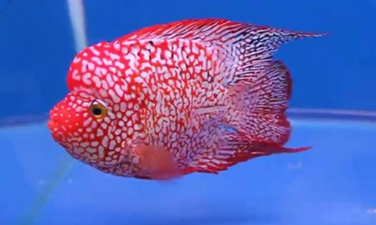 Mengenal Ikan Louhan Yang Dipercaya Membawa Kebahagiaan Serta Kesejahteraan Cermati Com