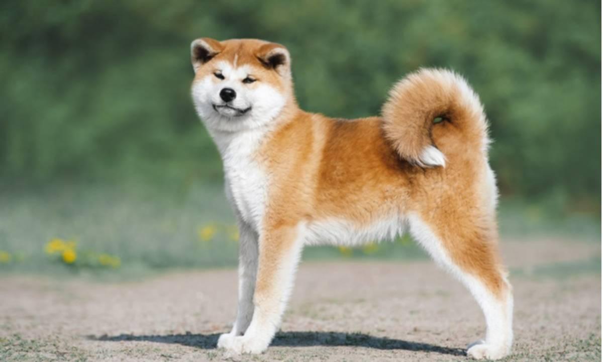 Bisa Seharga Satu Buah Mobil Ini Dia 10 Ras Anjing Termahal Di Dunia Cermati Com