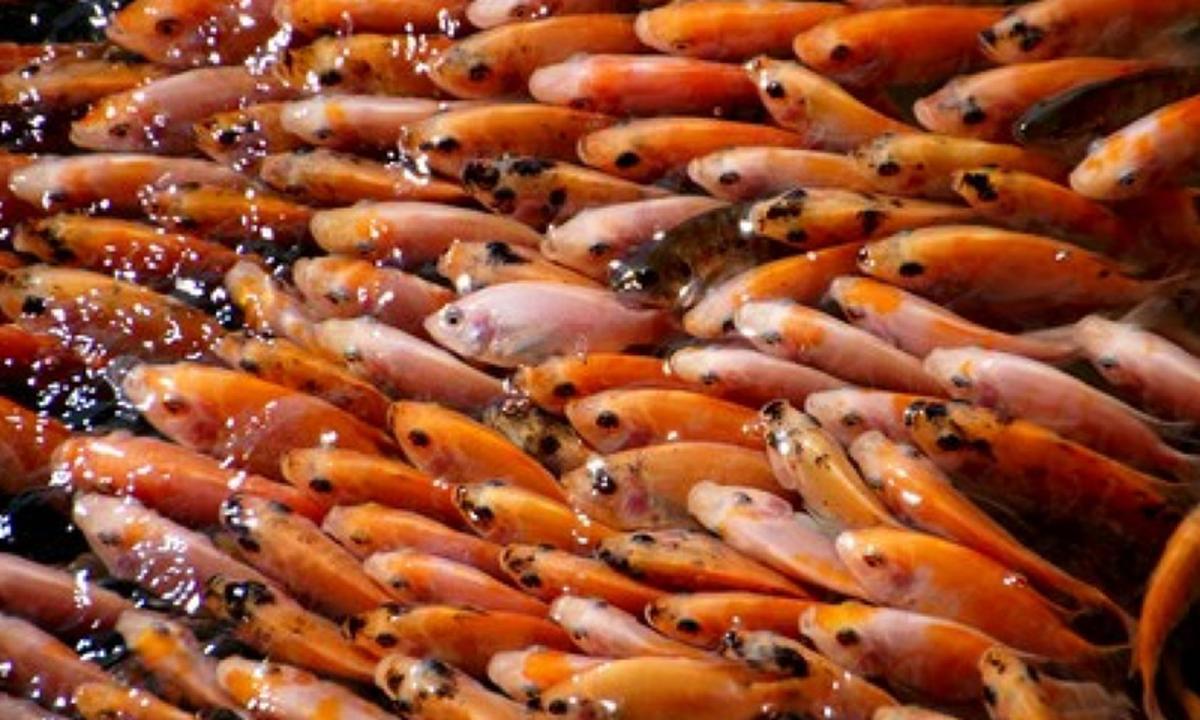 Budidaya Ikan Nila Bisa Jadi Ladang Rezeki Berikut Fakta Fakta Yang Harus Diketahui Cermati Com