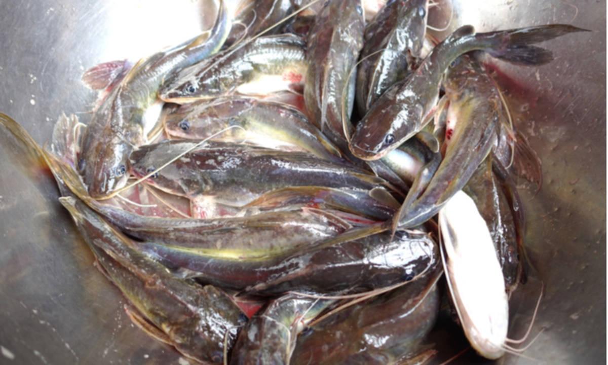 Seluk Beluk Budidaya Ikan Lele Mulai Dari Modal Hingga Untung Yang Bisa Didapatkan Cermati Com