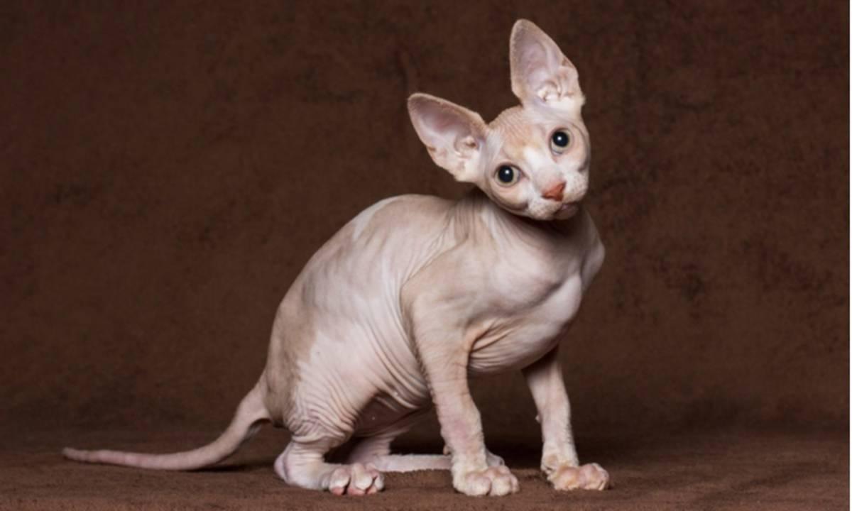 10 Ras Kucing Termahal Di Dunia Ini Ada Yang Mencapai Angka Miliaran Rupiah Cermati Com