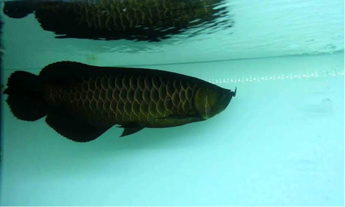Ikan Arwana Dihargai Fantastis Kenali Alasannya Mengapa Menjadi Ikan Yang Banyak Digemari Cermati Com