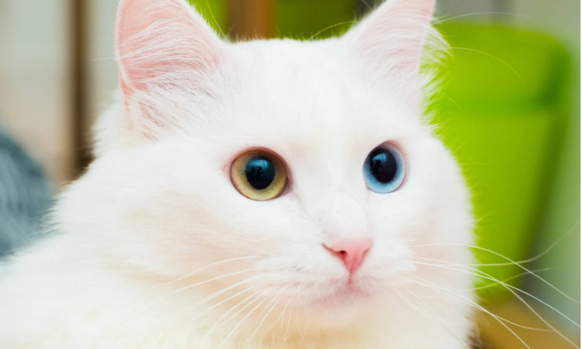 Kucing Anggora Ketahui Ciri Fisik Dan Tips Memelihara Binatang Imut Yang Disukai Cat Lovers Ini Cermati Com