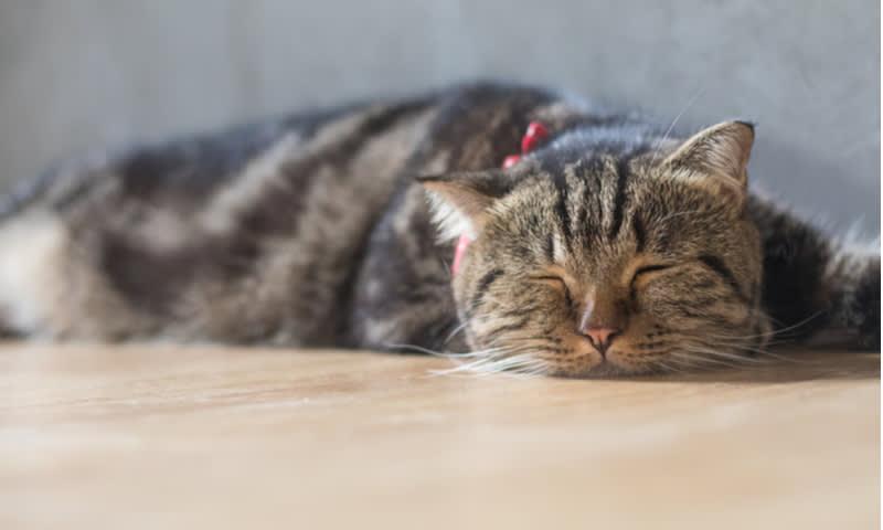 virus corona pada kucing