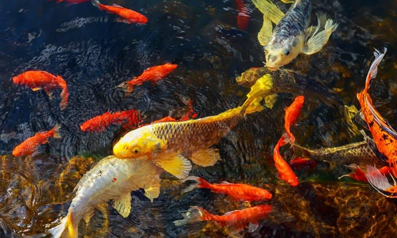 Ikan hias potensi ekspor