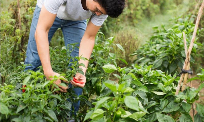 Staf Agrikultur